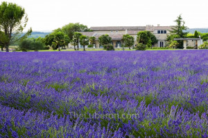 across the lavender field