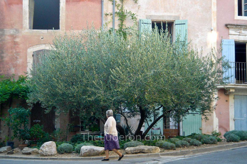 Goult olive tree