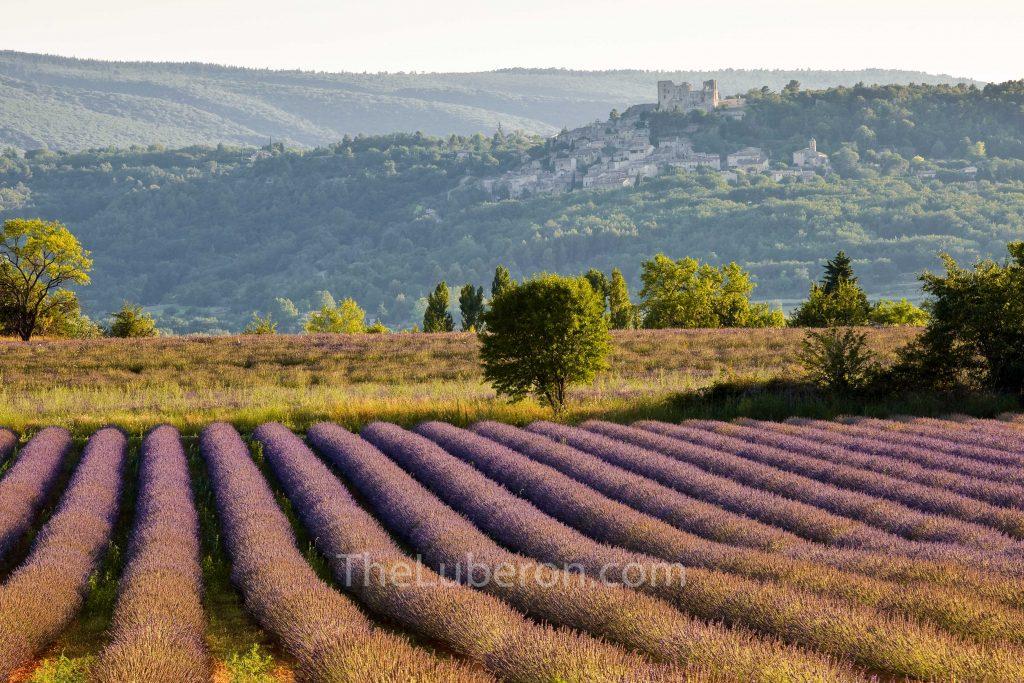 Lavender field below Lacoste