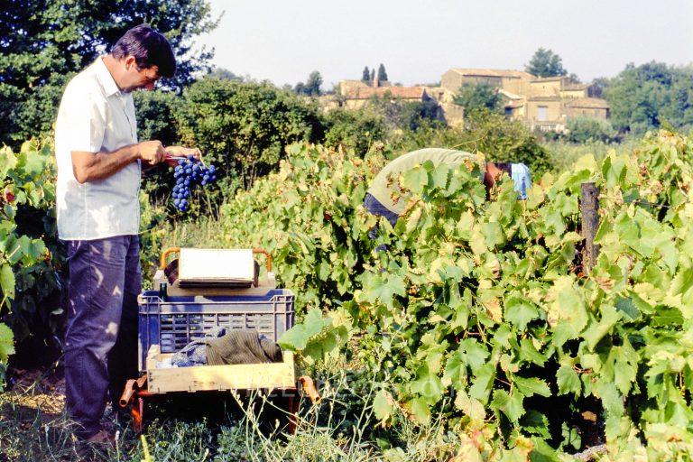 picking grapes in Maubec
