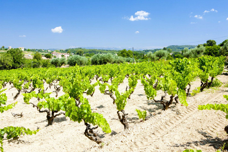 Vineyard in Bandol
