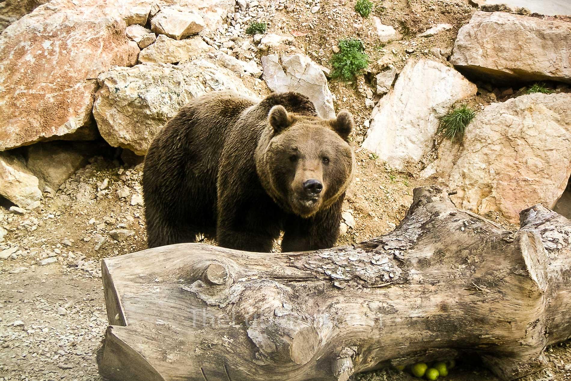 Bear at Barben Zoo