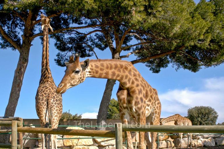 Giraffes at Barben Zoo