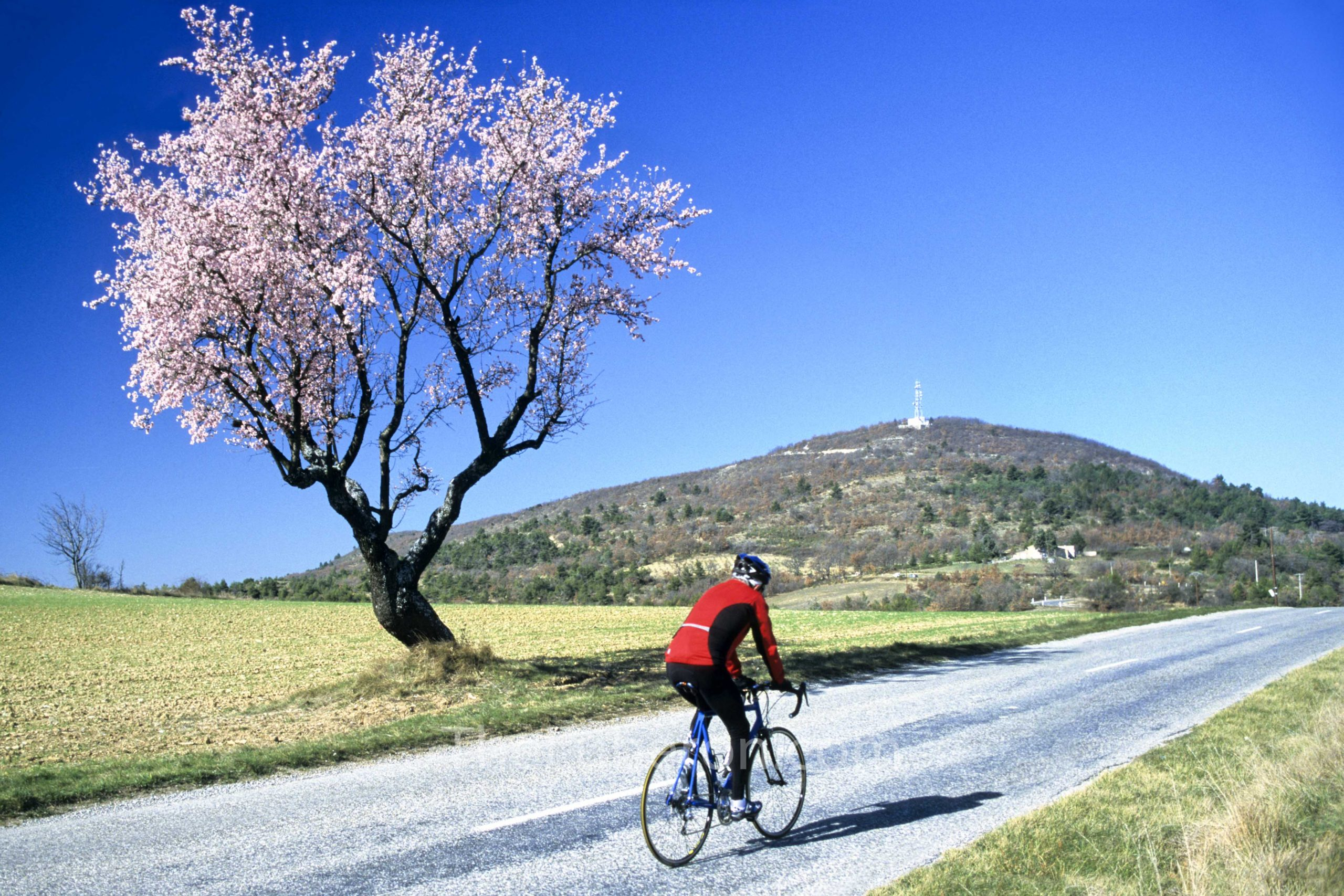 Cyclist passt a tree in blossom