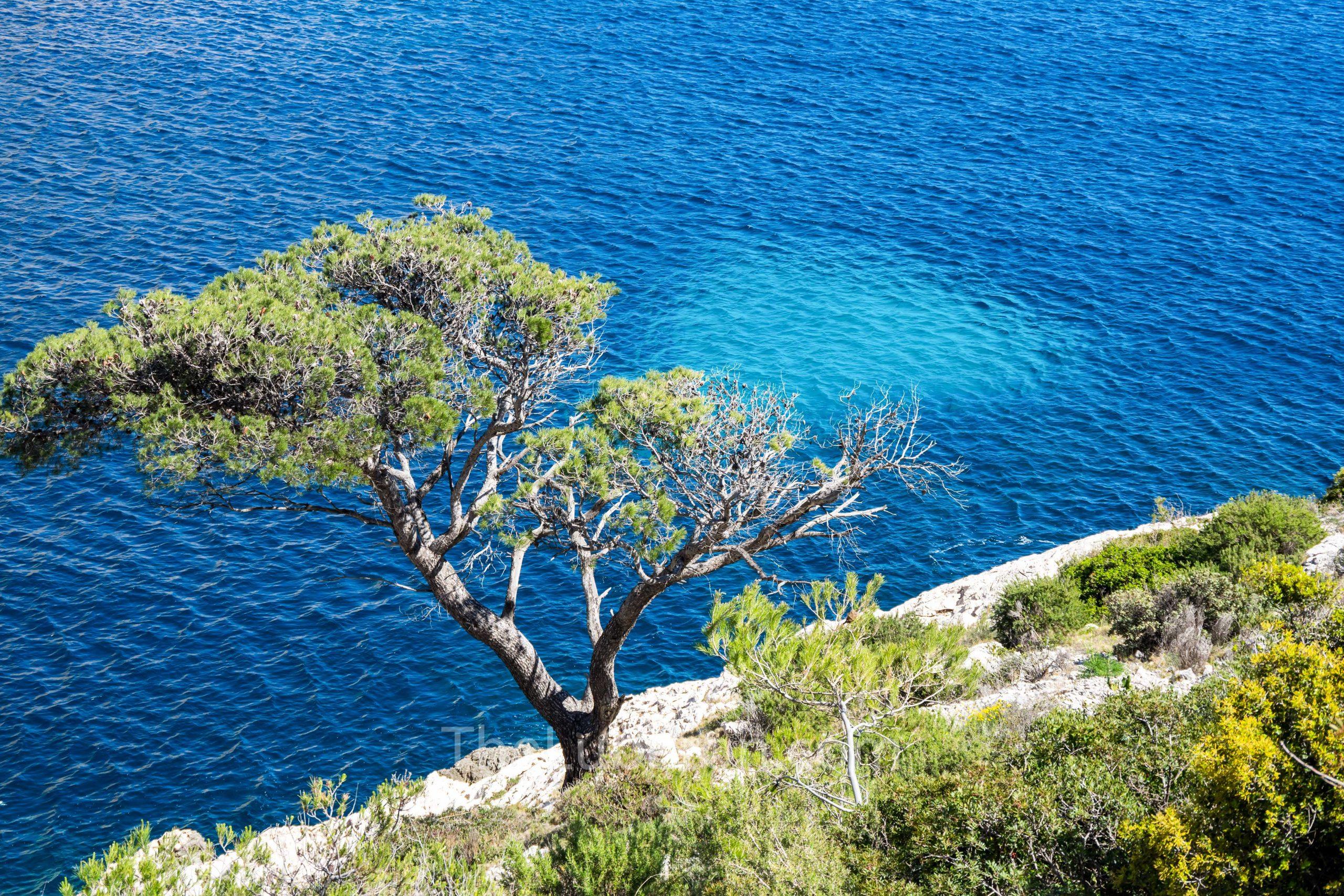 Pine tree in calanque de Morgiou