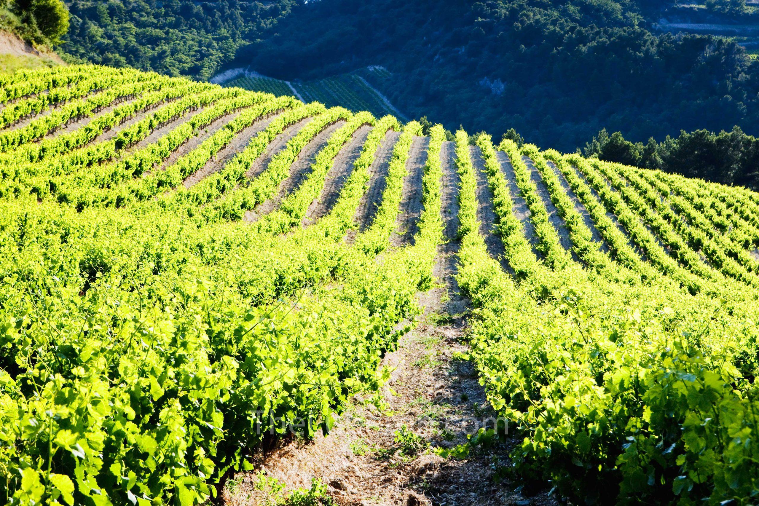 Gigondas vineyards
