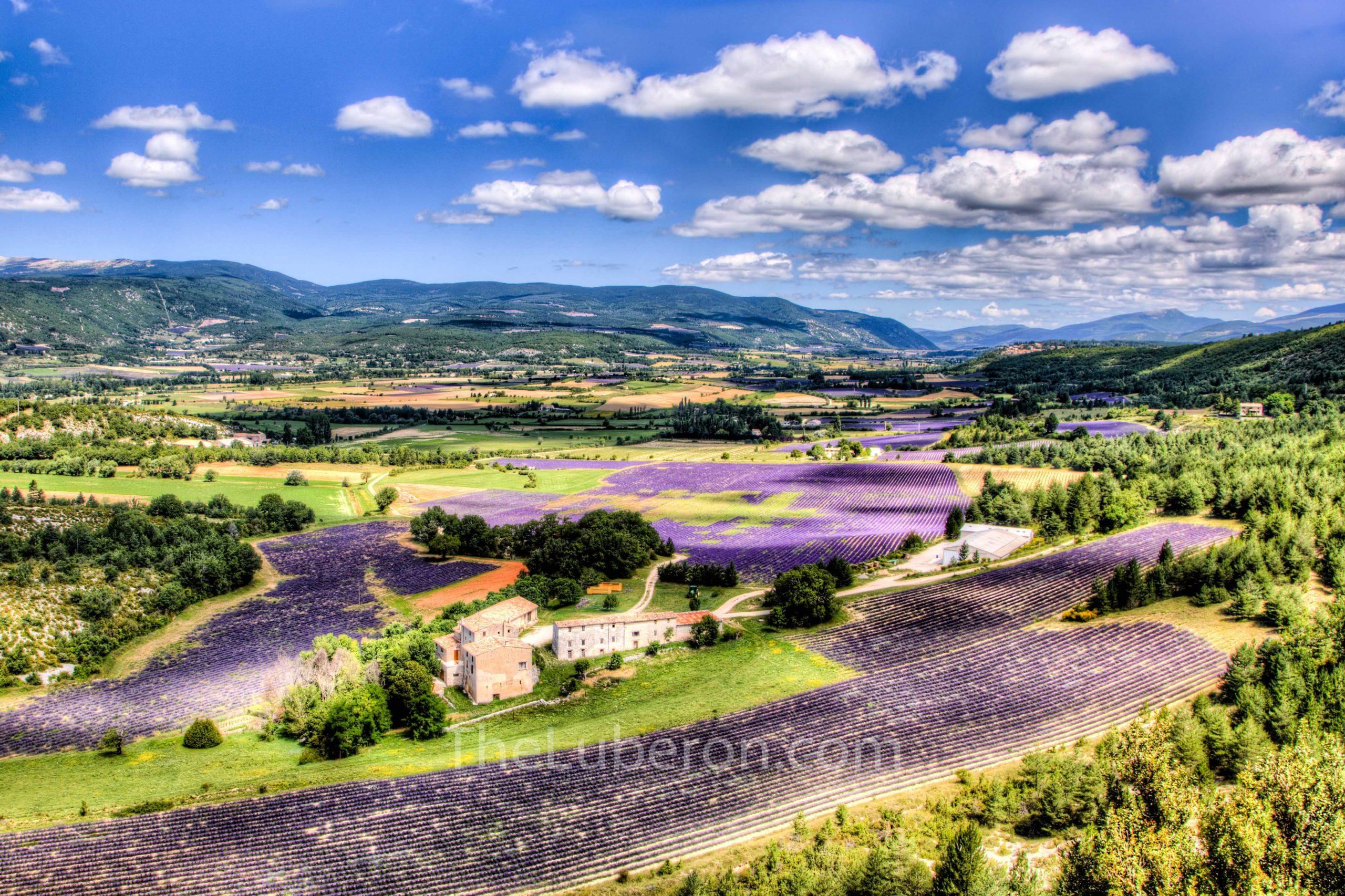 Lavender fields around Sault