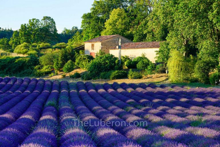 Farmhouse and lavender