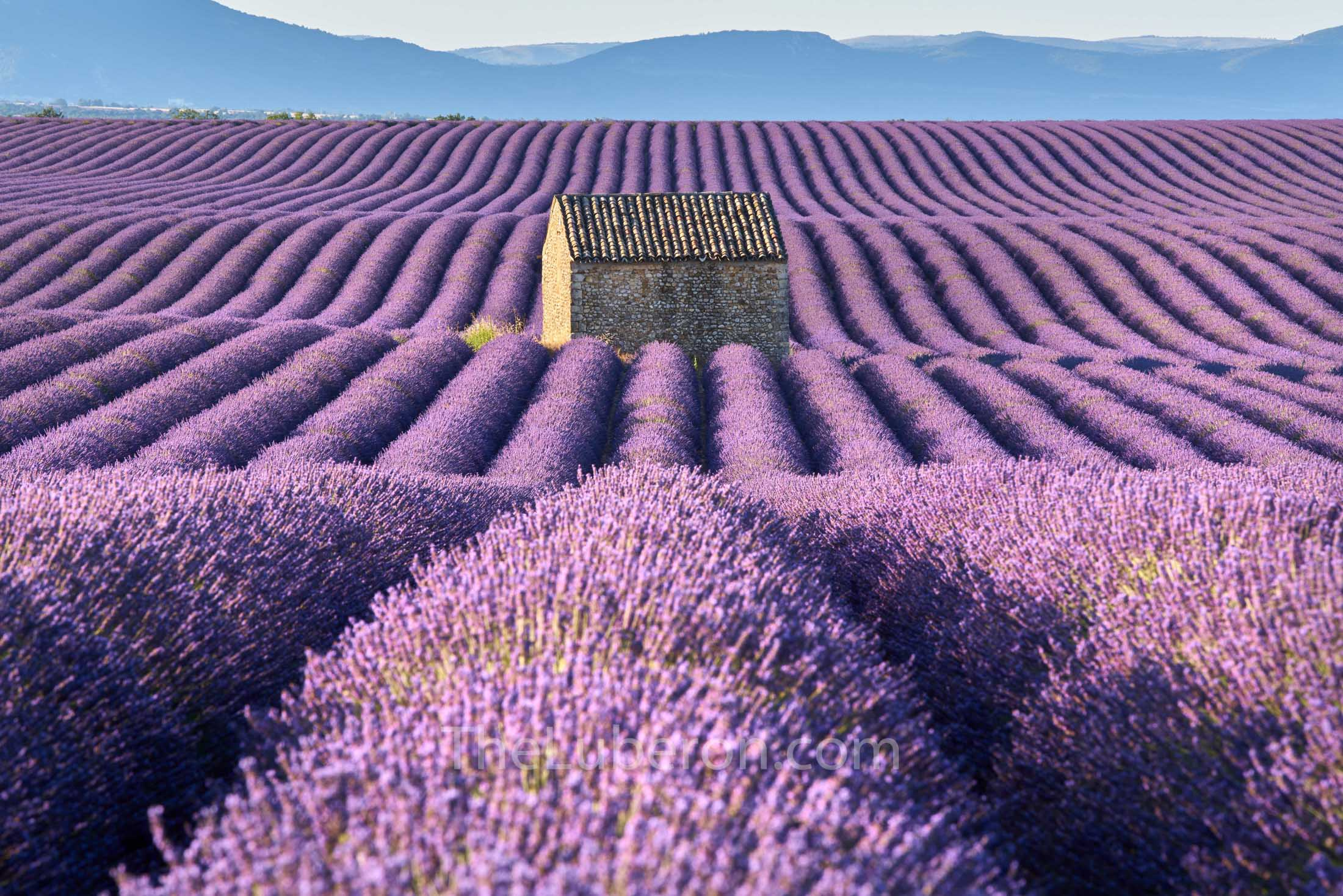 Hut in lavedner field in Valensole