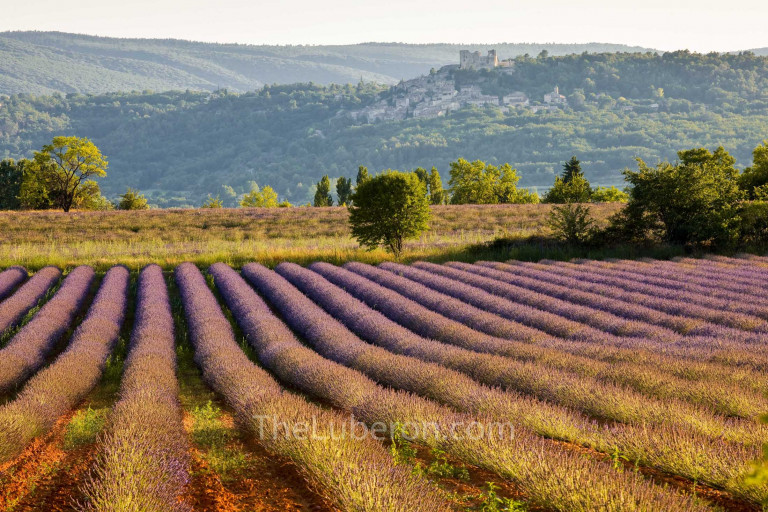 Lavender in front of Lacoste