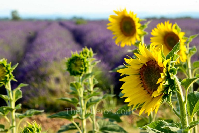 Sunflower and lavender