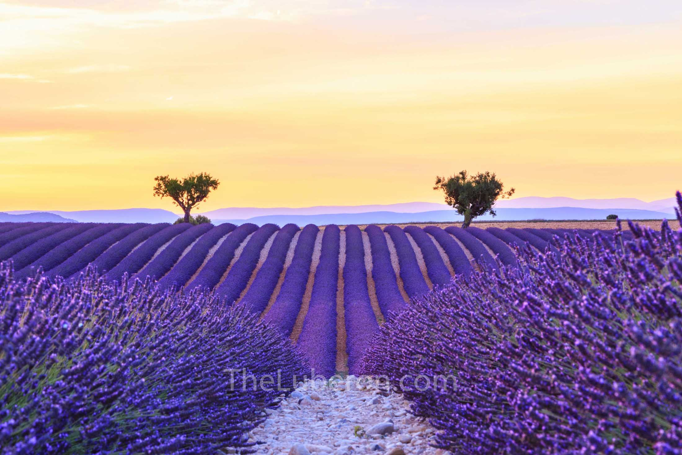 Sunset over Lavender in Valensole