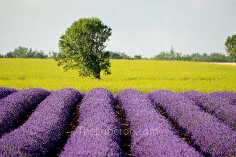 Lavender in Valensole