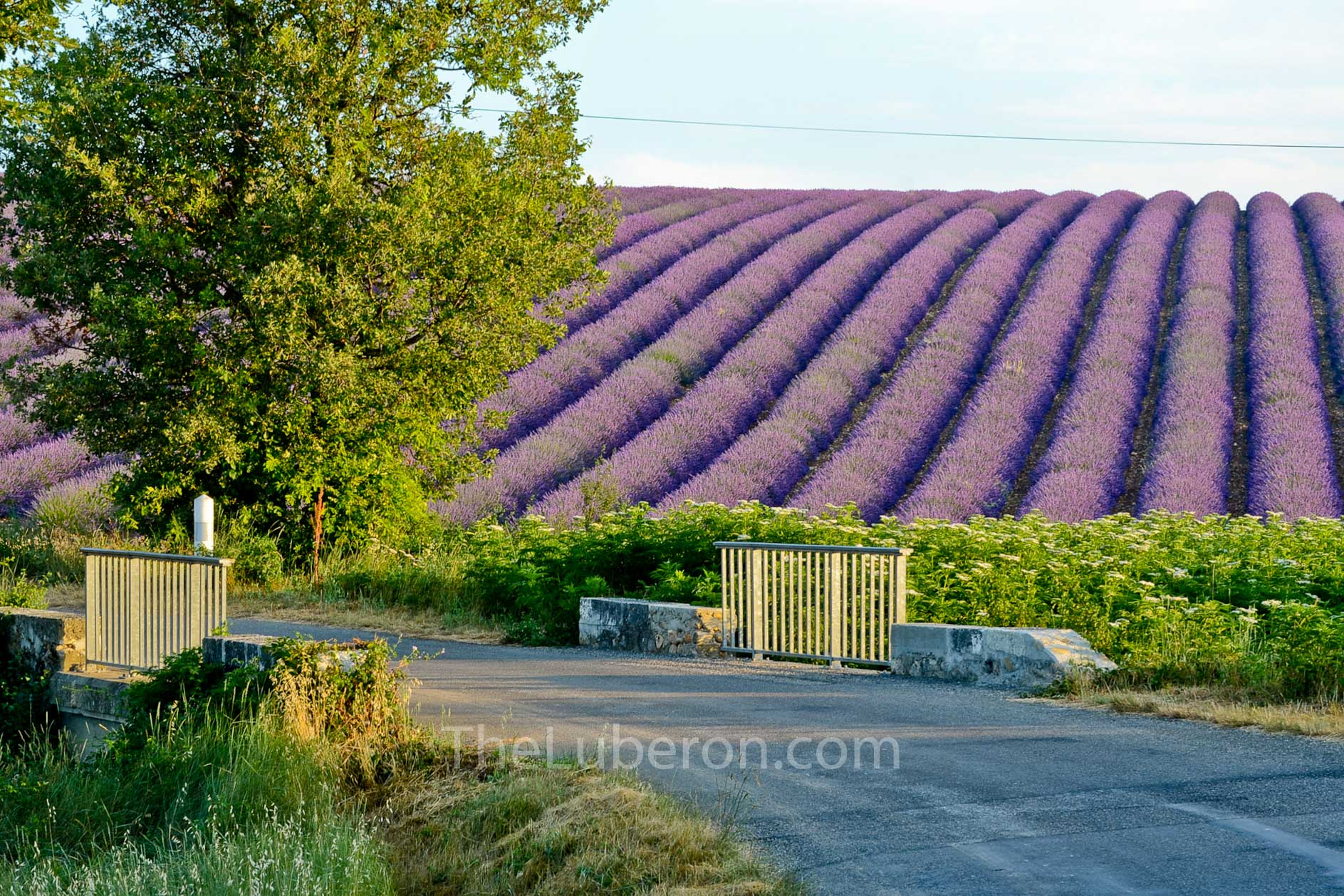Valensole lavender by road