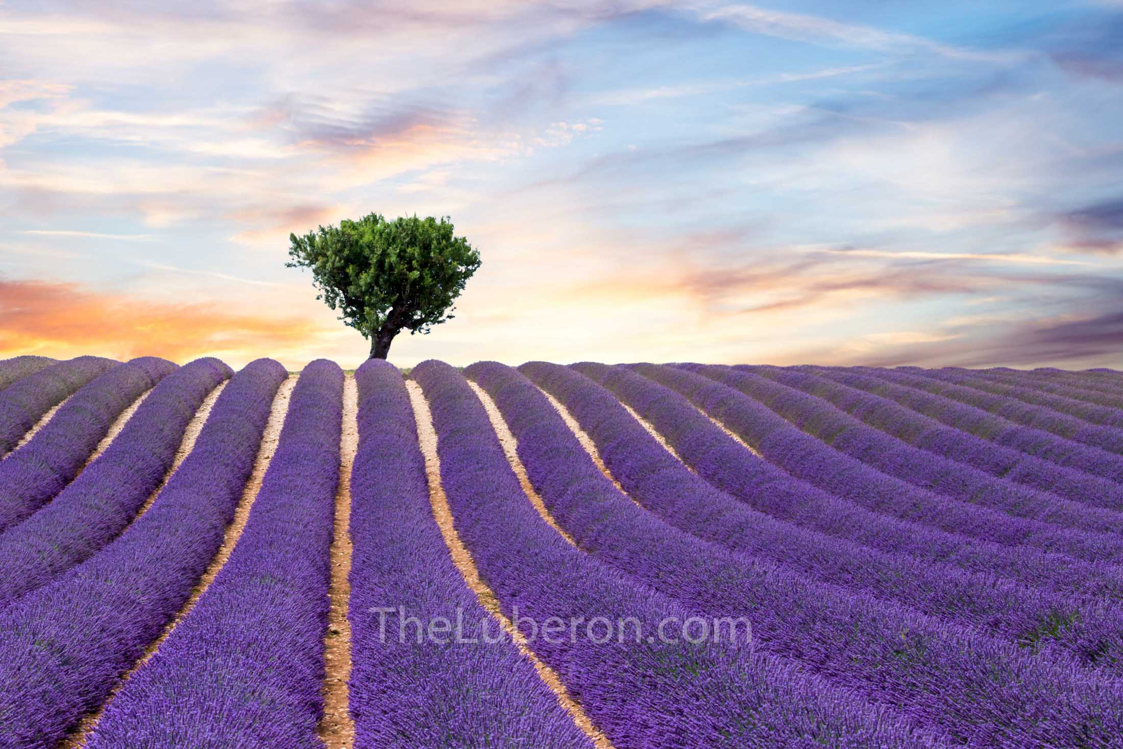 Tree and lavender field