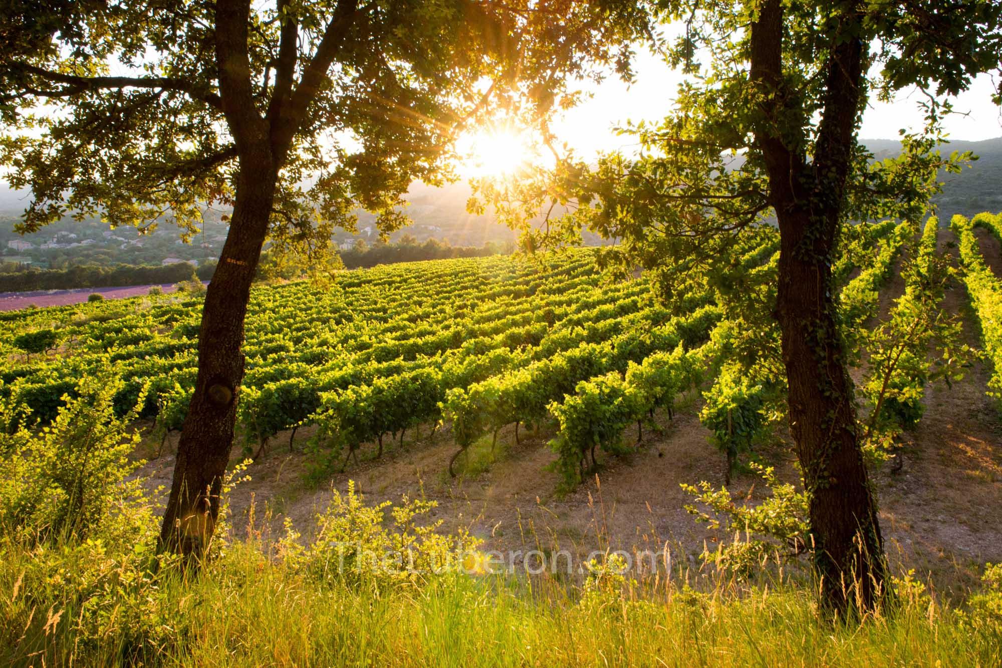 Luberon vineyard at sunset