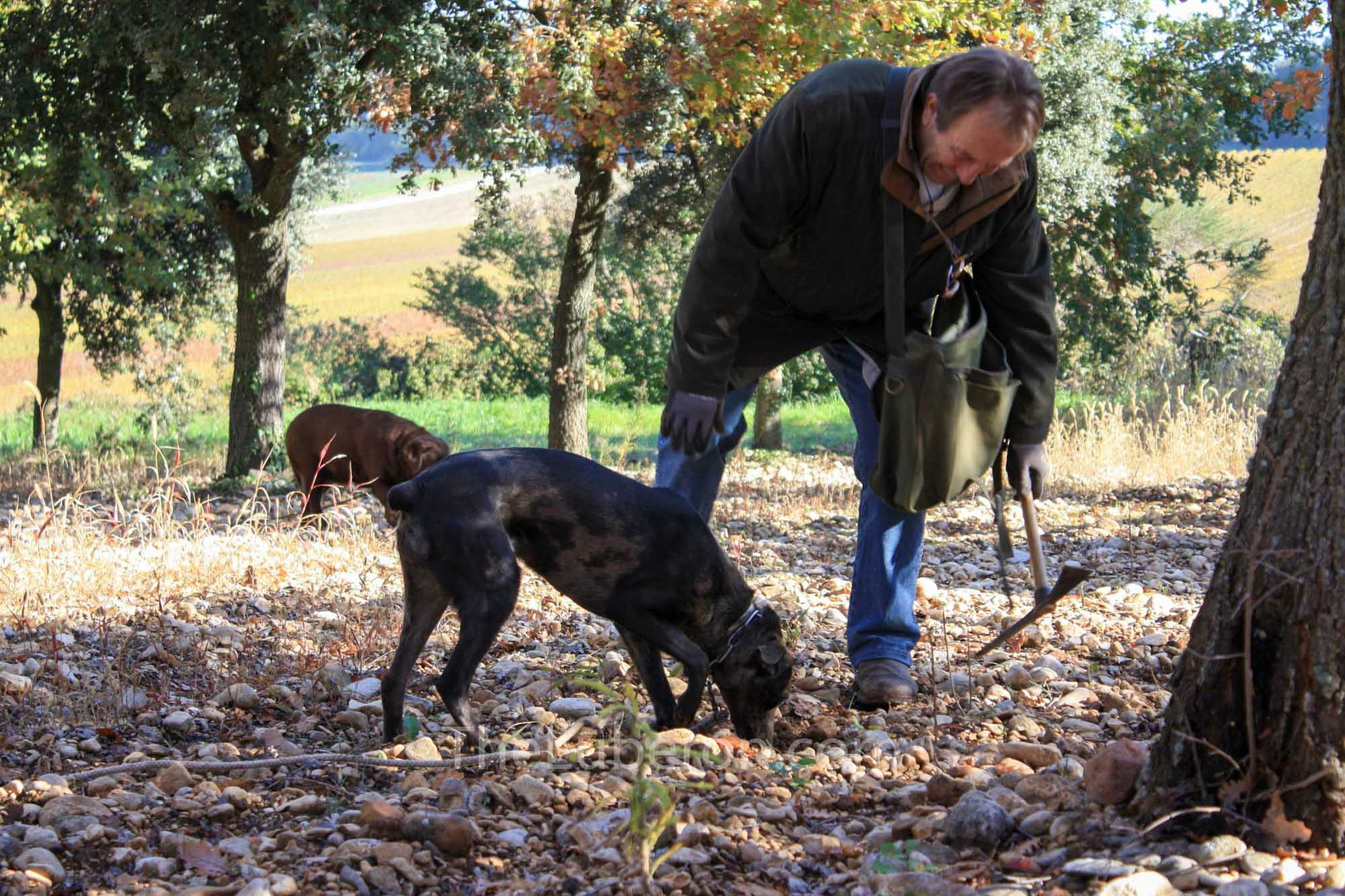 Dog looking for truffles