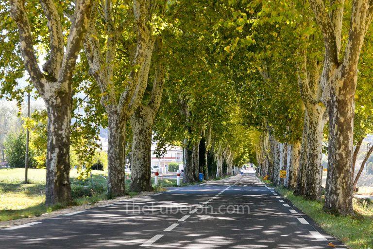 Malaucene plane trees