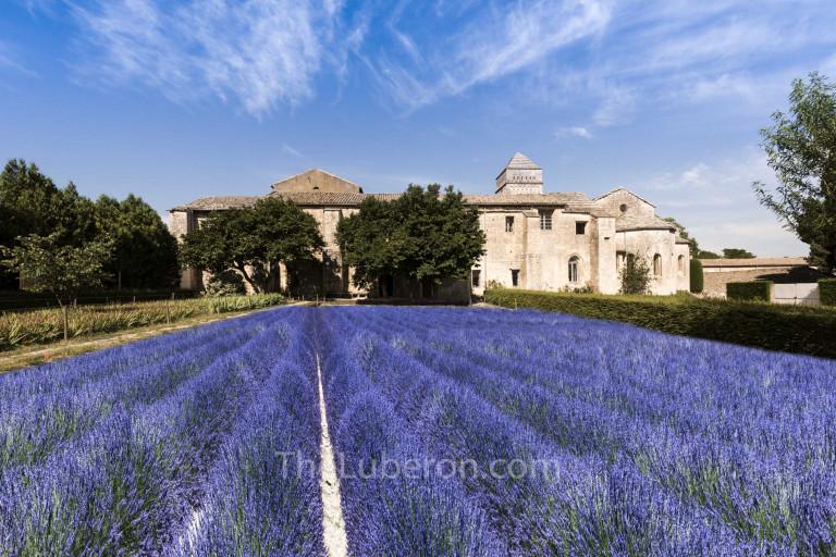 Lavender field at Saint-Paul de Mausole