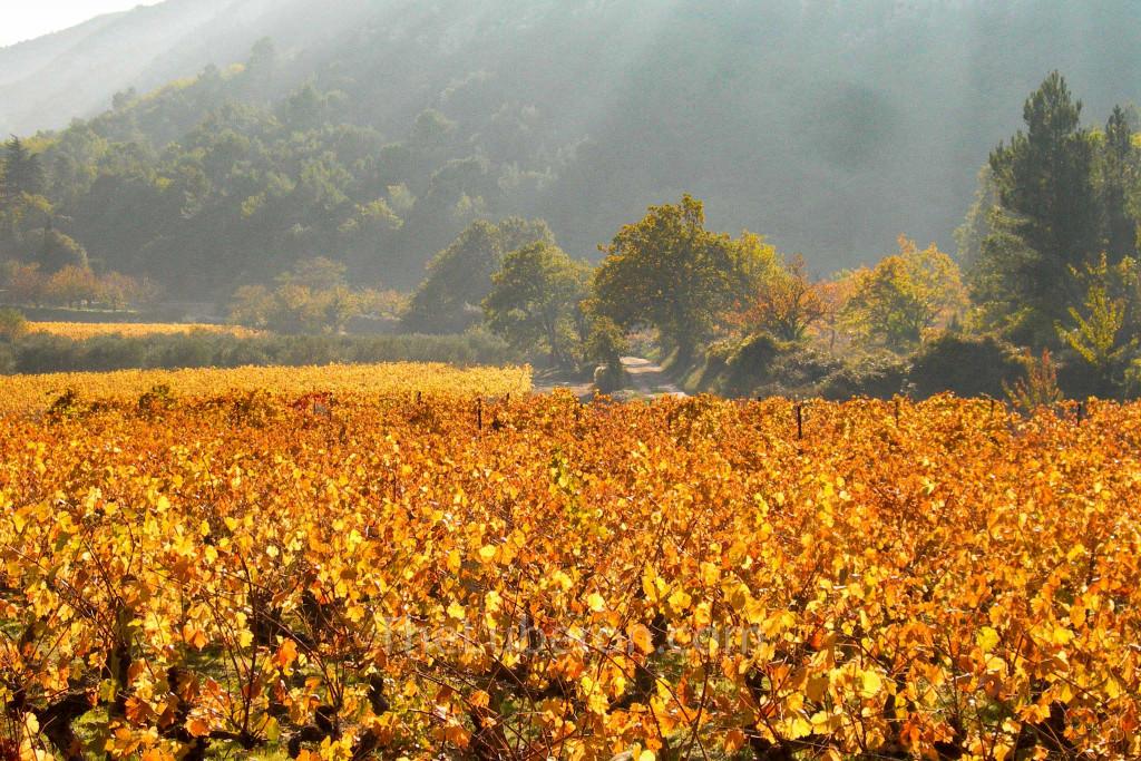 autumnal vineyards