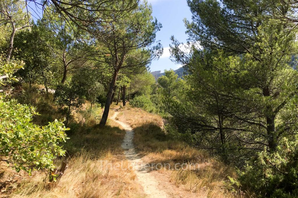 walking path through pine trees